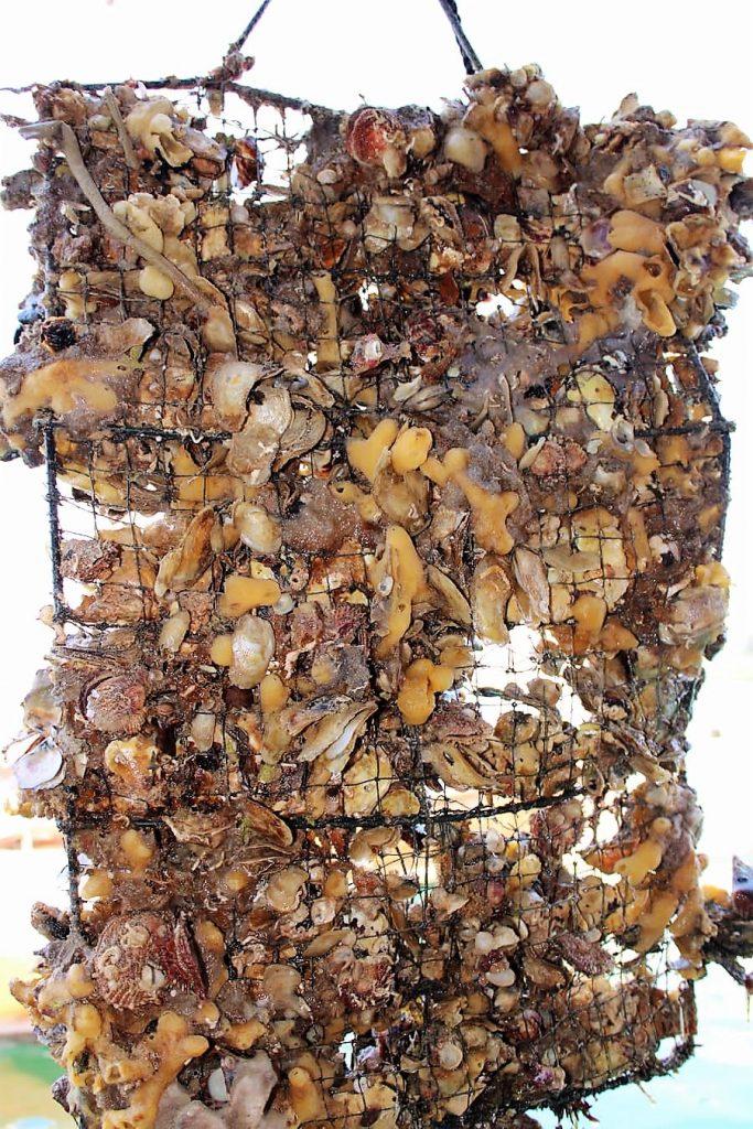 Culture de perles à la ferme Suwaidi près de RAK