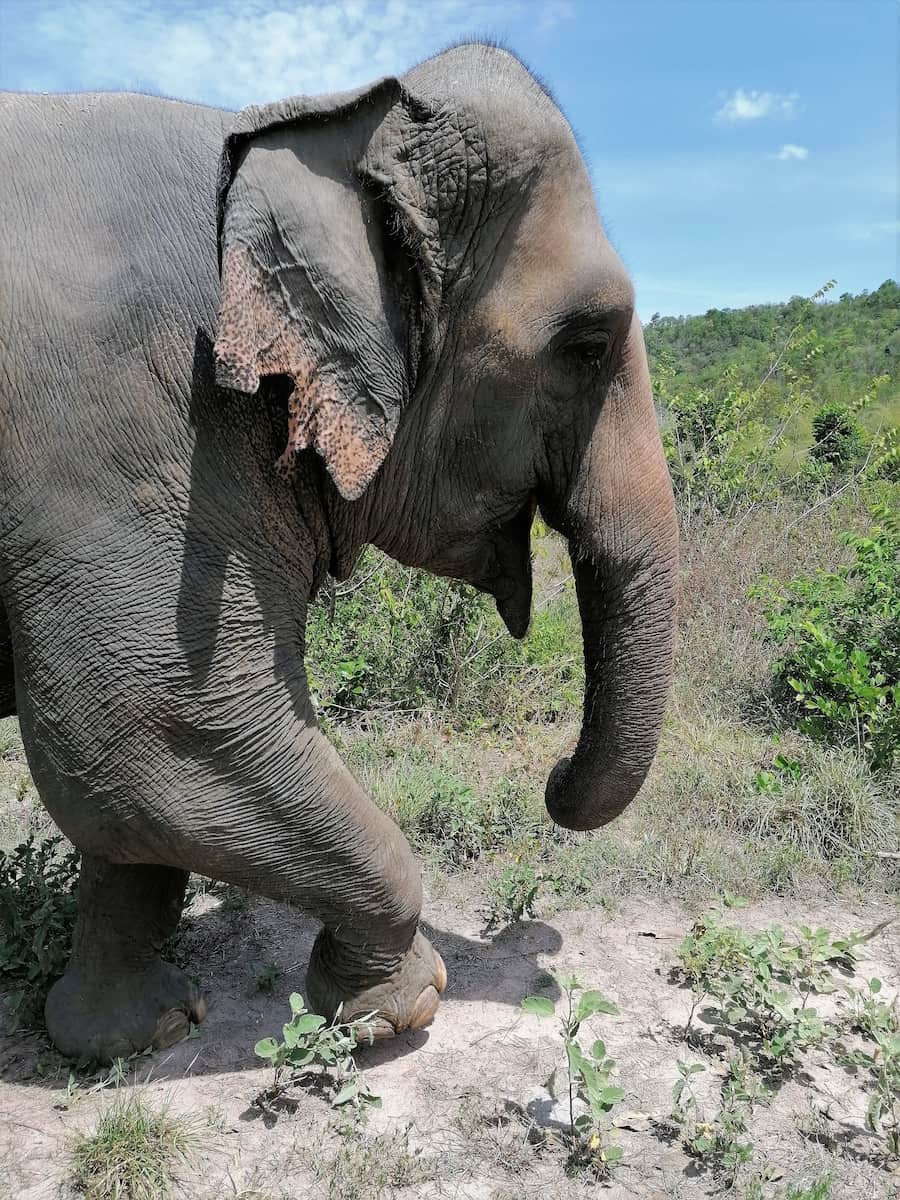 Un éléphant engloutit environ 200 kg de fruits, feuilles, plantes par jour.