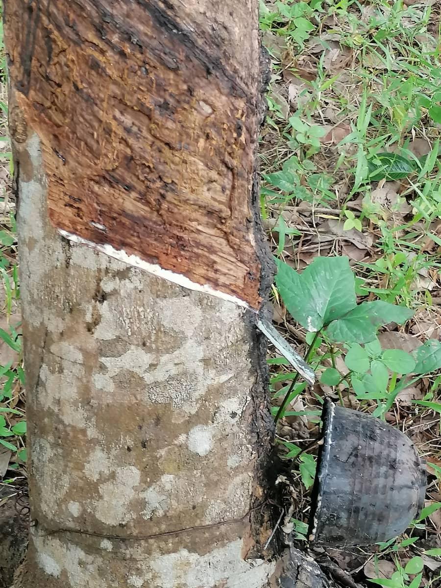 Des immenses forêts d'hévéas à Lanta Noi donnent le latex.