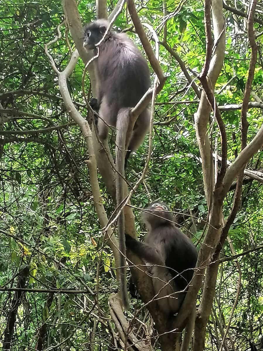Ces singes semblent plus craintifs et moins chapardeurs que ceux dans les villes