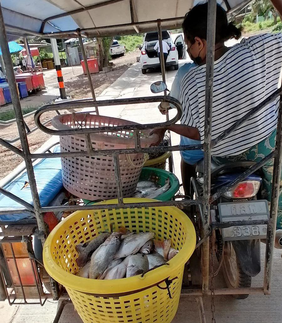 Les poissons sont triés et livrés immédiatement chez les revendeurs