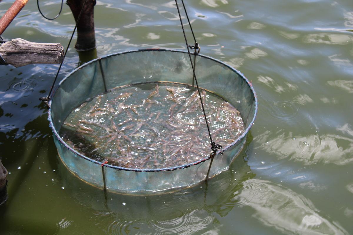 Comme les crevettes sont trop petites pour le moment, on ne peut pas en acheter, dommage, on leur aurait fait tout un festin !!